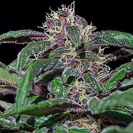 ayahuasca-purple-barneys-farm