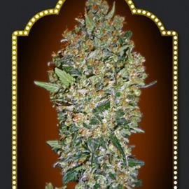 cheese-berry-5-100-00-seeds