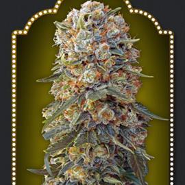 sweet-critical-5-100-00-seeds